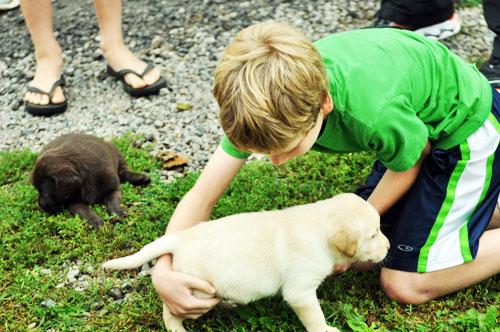 lab puppiesdsc_0051