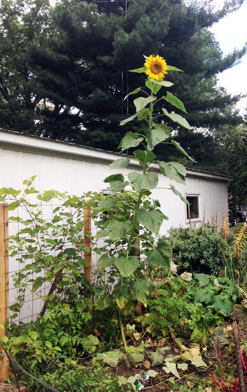 susiej sunflowerIMG_3550