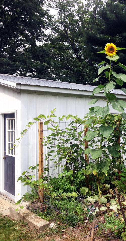 susiej sunflowerIMG_3553