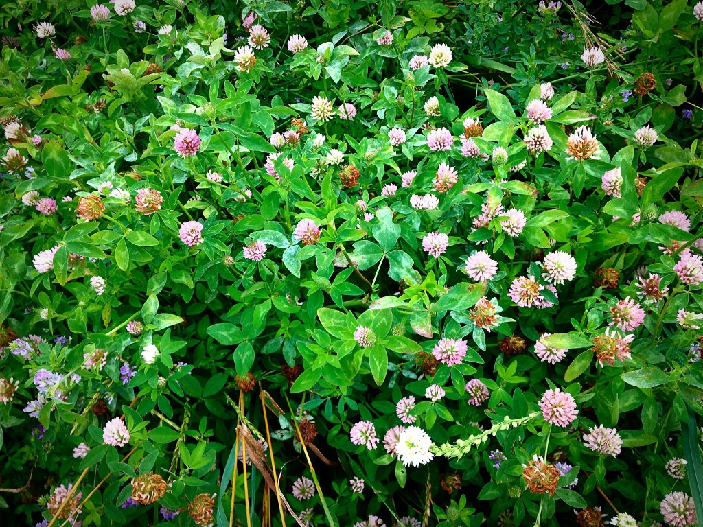 Susiej Red Clover for Hot Flashes